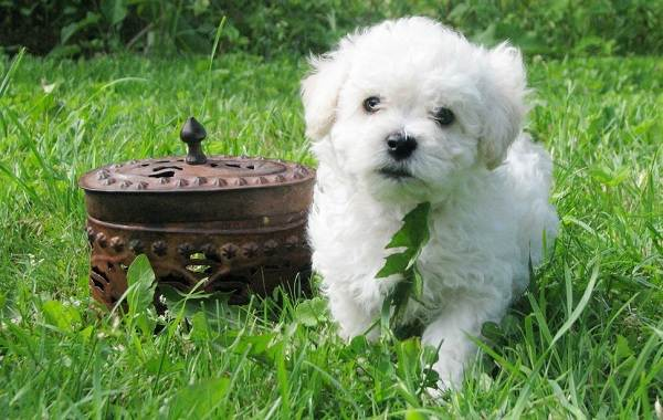 Бишон-фризе-собака-Описание-особенности-уход-и-цена-породы-бишон-фризе-6