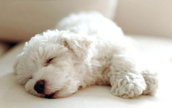 Бишон-фризе-собака-Описание-особенности-уход-и-цена-породы-бишон-фризе-9
