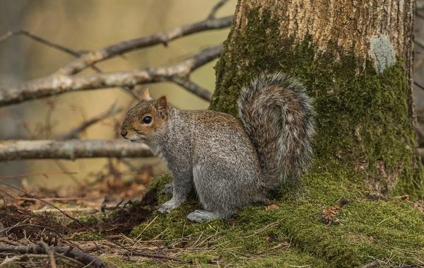 Protein - Djurbeskrivningsfunktioner - Visa-livslängd-och-onsdag - Squirrel-9