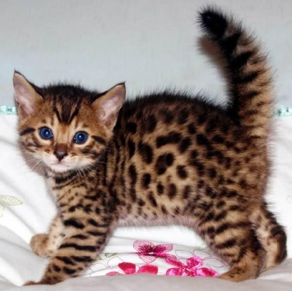 Бенгальский кот. Описание, особенности и уход за ...
