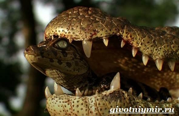 تمساح الحيوانات النمط الحيواني - والبيئة - الموئل التمساح - 7