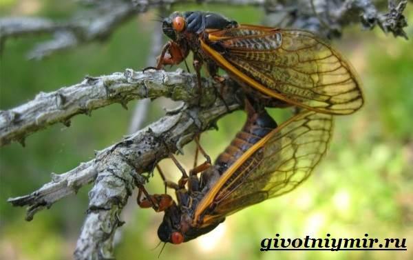 рулады цикады 7 букв