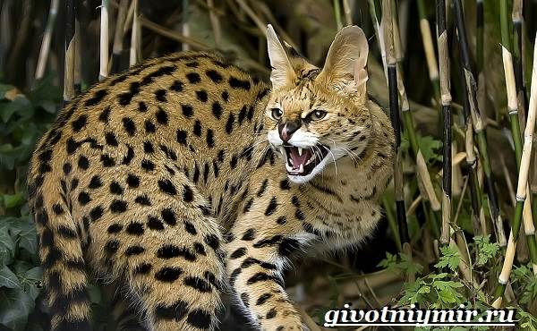 Сервал кошка. Образ жизни и среда обитания кошки сервал ...
