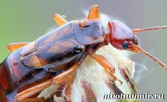 Биология уховертки. Двухвостка опасна ли для человека. Как выглядит двухвостка