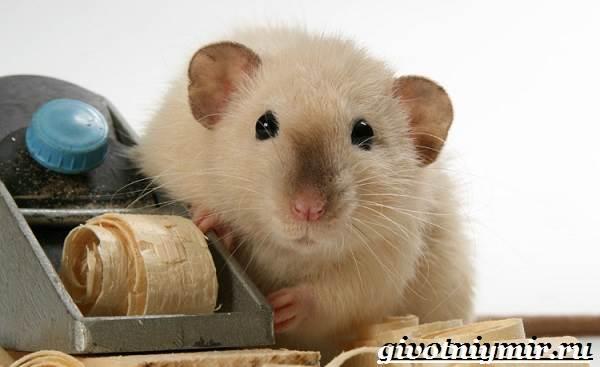 Фото Сиамская Крыса