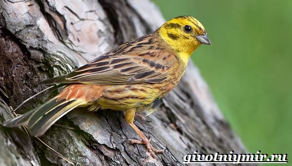 Овсянка птица. Образ жизни и среда обитания птицы овсянки ...