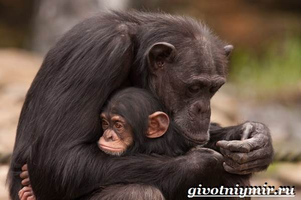 Lifestyle and habitat of chimpanzees  Chimpanzee monkey