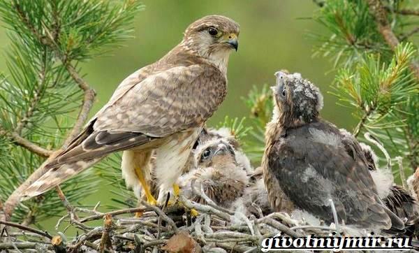 Сокол птица. Образ жизни и среда обитания птицы сокол ...