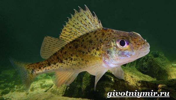Ерш рыба. Образ жизни и среда обитания рыбы ёрш | Животный мир