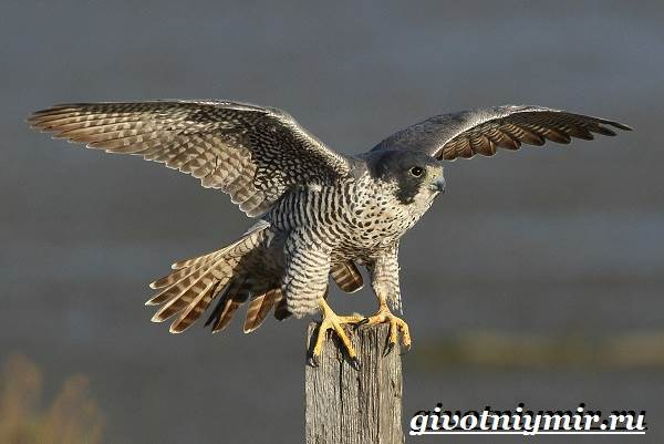 Сапсан птица. Образ жизни и среда обитания сапсана ...