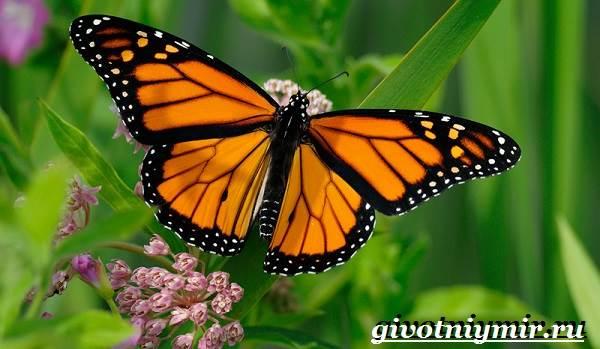 Бабочка Монарх. Образ жизни и среда обитания бабочки ...