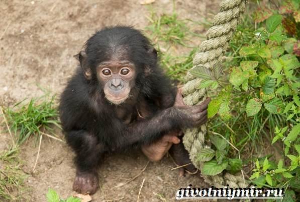 Человекообразная обезьяна. Образ жизни и среда обитания ...