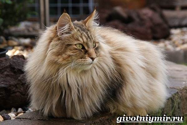 Норвежская-лесная-кошка-Описание-особенности-уход-и-цена-норвежской-лесной-кошки-8