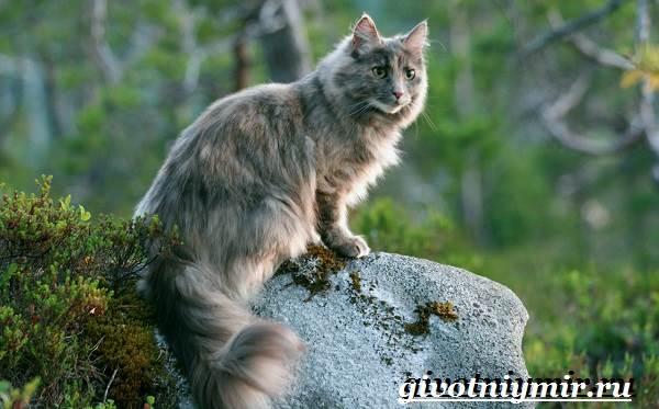 Норвежская-лесная-кошка-Описание-особенности-уход-и-цена-норвежской-лесной-кошки-9