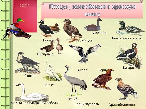 Птицы Красной книги России | Животный мир