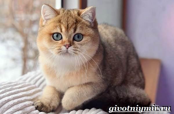 Серебристая Шиншилла Кошка Фото Цена