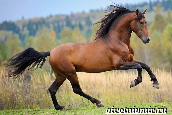 Гнедая лошадь. Описание, виды, уход и цена гнедой лошади ...