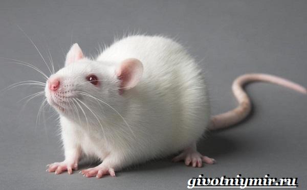 Альбинос Крыса Фото