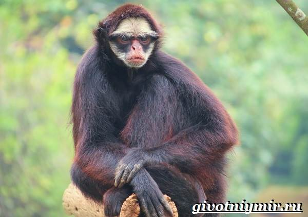 Паукообразная обезьяна. Образ жизни и среда обитания ...