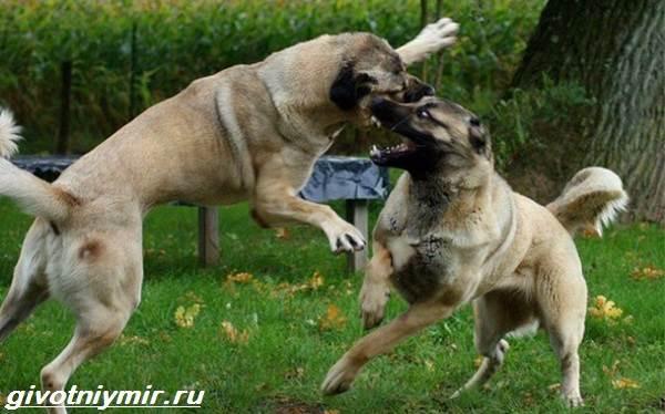 Турецкий кангал собака. Описание, особенности, уход и цена ...