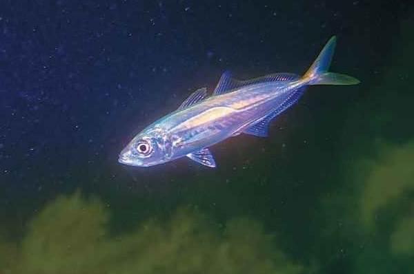 jūros žuvys, sergančios hipertenzija