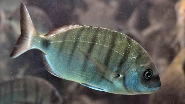 Рыбы черного моря. Названия, описания и особенности рыб ...
