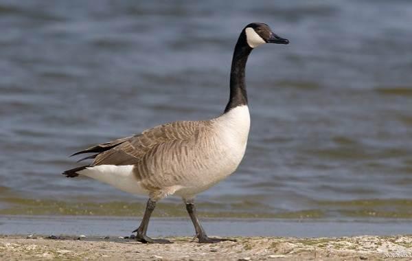 Водоплавающие птицы. Описание, названия и особенности ...
