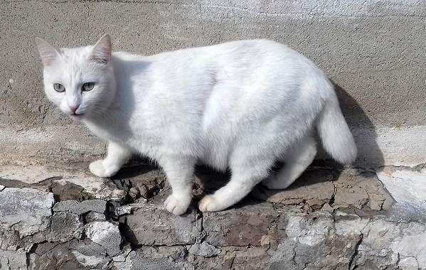 Японский-бобтейл-кошка-Описание-особенности-уход-и-цена-японского-бобтейла-12
