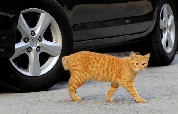 Японский-бобтейл-кошка-Описание-особенности-уход-и-цена-японского-бобтейла-9