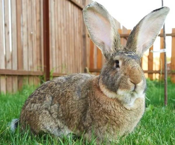 Кролики-породы-великан-Описание-особенности-виды-уход-и-содержание-8