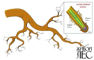 Одревесневшая корневая лапа с всасывающими воду корневыми окончаниями