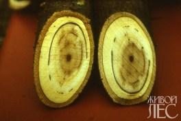 Пораженные сосуды на поперечных срезах ветвей