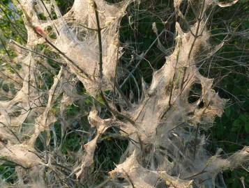 Черемуховая горностаевая моль