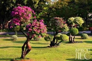 Бонсай по-тайски, сформированный из бугенвиллий