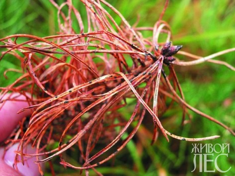 Обыкновенное шютте хвои сосны (пораженный сеянец)