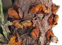 Ржавчина можжевельника: пораженный стволик спороношения гриба