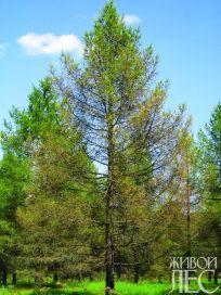 Дерево лиственницы с сильной степенью поражения кроны.