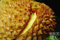 Плод дуриана