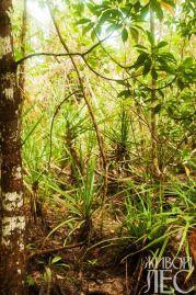 Молодые панданусы среди мангровых зарослей