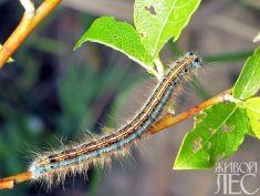 Malacosoma castrensis - Коконопряд кольчатый
