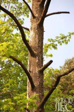 Термический ожог коры привел к гибели проводящих систем дерева