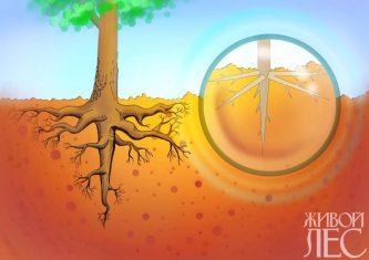 Смешанная корневая система