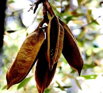 Плоды брахихитона Бидвилла