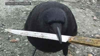 Corvo segurando com o bico uma faca de serra, dessas de cozinha, de cortar pão.