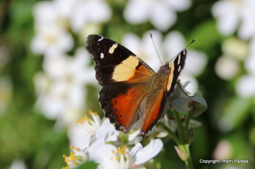 a-yellow-admiral-img_8501