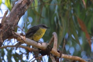 eastern-yellow-robin-img_9500