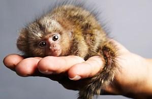Pygmy marmoset (Brazil)