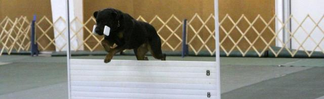 Dumbbell Recall Over High Jump Greater Kansas City Dog Training Club