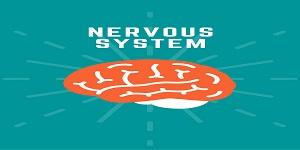 brain - Nervous System