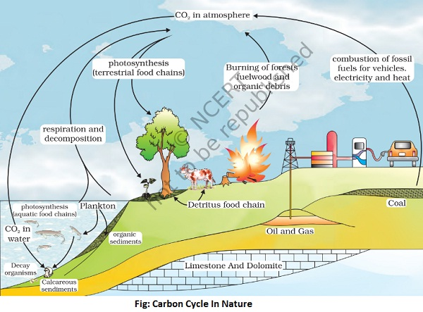 carbon cycle in nature - Carbon Cycle In Nature